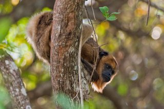 3T9P4083_-_Black_Howler_Monkey.jpg