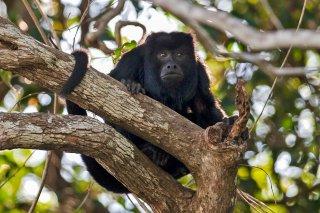 3T9P4087_-_Black_Howler_Monkey.jpg