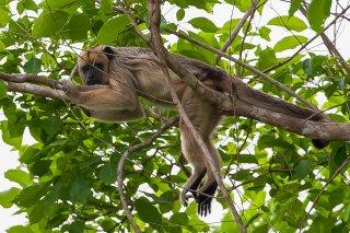 3T9P8296_-_Black_Howler_Monkey.jpg