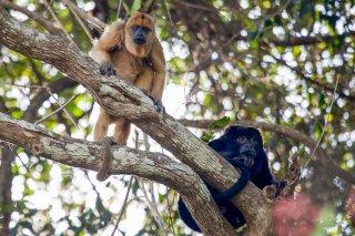 IMG_2669_-_Black_Howler_Monkey.jpg