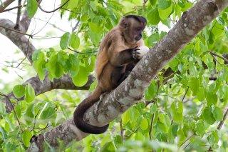 3T9P7572_-_Tufted_Capuchin_Monkey.jpg