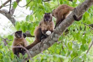 3T9P7580_-_Tufted_Capuchin_Monkey.jpg