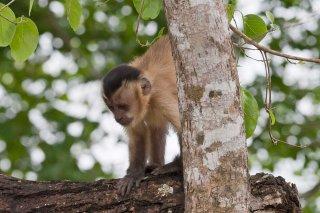 3T9P7598_-_Tufted_Capuchin_Monkey.jpg