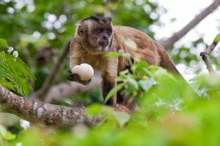 3T9P7603_-_Tufted_Capuchin_Monkey.jpg