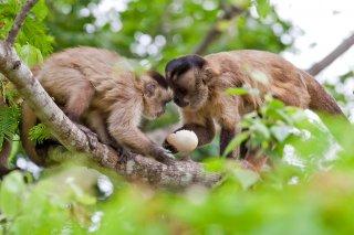 3T9P7607_-_Tufted_Capuchin_Monkey.jpg