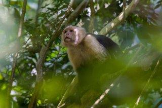 3T9P7065a_-_White-faced_Capuchin.jpg