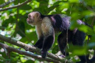 3T9P7076a_-_White-faced_Capuchin.jpg