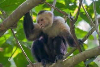 IMG_1045b_-_White-faced_Capuchin.jpg
