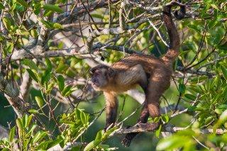 3T9P3523_-_Maranon_white-fronted_capuchin.jpg