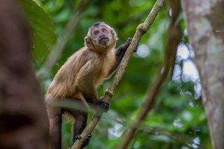 IMG_1793_-_Maranon_white-fronted_capuchin-h.jpg