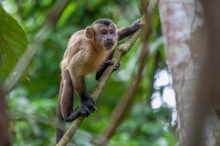 IMG_1798_-_Maranon_white-fronted_capuchin-h.jpg