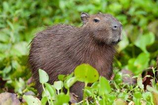 3T9P2397_-_Capybarra.jpg