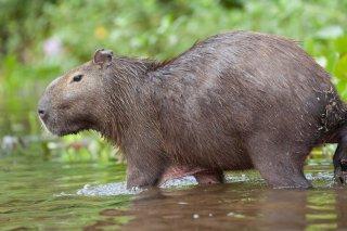 3T9P2403_-_Capybarra.jpg