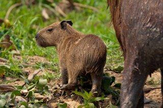 3T9P4264_-_Capybara.jpg