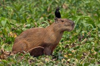 3T9P4266_-_Capybara.jpg