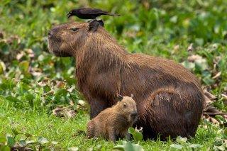 3T9P4273_-_Capybara.jpg