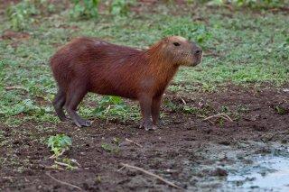 3T9P6420_-_Capybara.jpg