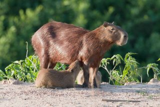 3T9P7770_-_Capybarra.jpg