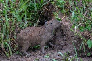 785A4150_-_Capybarra.jpg
