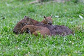 C16V1674_-_Capybara.jpg