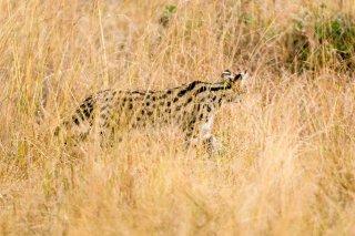 3T9P8359_-_Serval_Cat.jpg