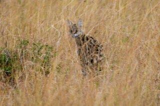 3T9P8360_-_Serval_Cat.jpg