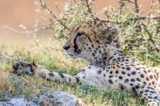 2M3A3596_-_Cheetah.jpg