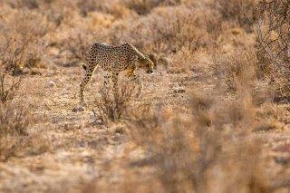 3T9P6028_-_Cheetah.jpg