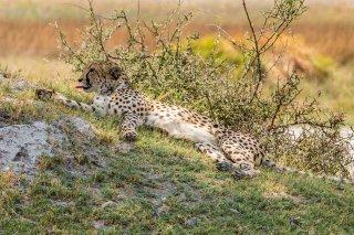 C16V3739_-_Cheetah.jpg