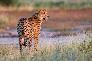 C16V7546_-_Cheetah.jpg