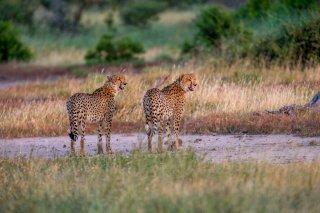 C16V7556_-_Cheetah.jpg