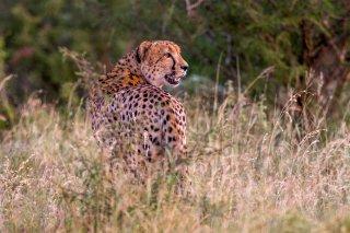 C16V7580_-_Cheetah.jpg