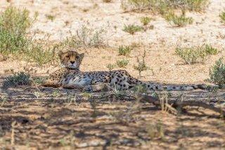 C16V9903_-_Cheetah.jpg