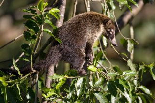 3T9P6282_-_White-nosed_Coati.jpg