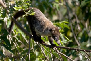 3T9P6283_-_White-nosed_Coati.jpg