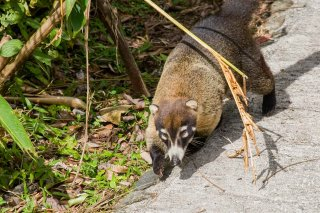IMG_0279_-_White-nosed_Coati.jpg