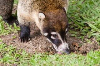 IMG_0294_-_White-nosed_Coati.jpg
