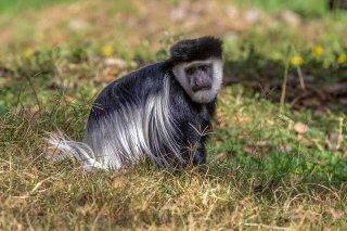2M3A4534_-_Black_and_White_Colobus_Monkey.jpg