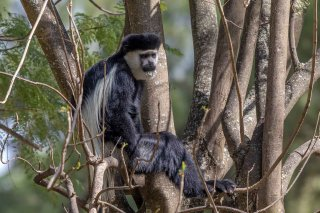 2M3A4541_-_Black_and_White_Colobus_Monkey.jpg