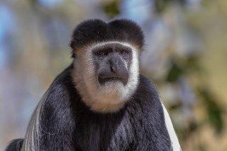 2M3A4543_-_Black_and_White_Colobus_Monkey.jpg