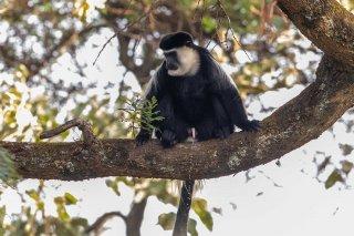 2M3A8623_-_Black_and_White_Colobus_Monkey-h.jpg