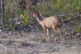3T9P6031_-_Gray_Brocket_Deer.jpg