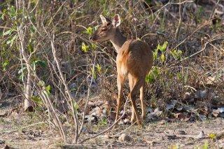 3T9P6034_-_Gray_Brocket_Deer.jpg