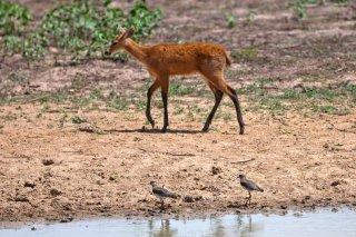 3T9P5874_-_Marsh_Deer.jpg