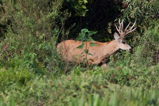 3T9P5892_-_Marsh_Deer.jpg