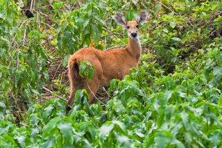 3T9P7715_-_Marsh_Deer.jpg