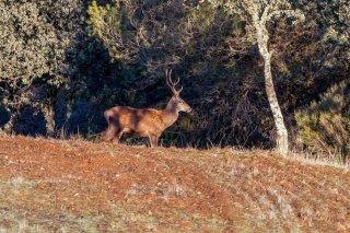IMG_8607_-_Red_Deer.jpg