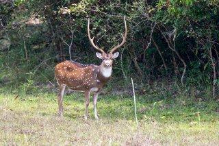 C16V0696_-_Spotted_Deer.jpg