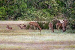 C16V1152_-_Spotted_Deer.jpg