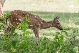 C16V8574_-_Spotted_Deer.jpg